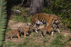 Rare Tiger Cubs Debut at the San Diego Zoo Safari Park (San Diego Zoo Global) Tags: travel baby cute tourism nature animals zoo sandiego conservation tigers cubs endangered rare safaripark sandiegozooglobal2016
