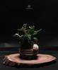 Jade Tree Kokedama (Terraria) Tags: plant tree design jade crassula ovata kokedama