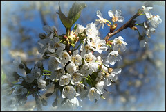 cherry blossom (Fay2603) Tags: flowers white plant nature spring seasons blossom outdoor jahreszeiten natur pflanze frame blte frhling blten kirschblte frhjahr fotorahmen weis