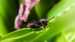 ... (jacoble1996) Tags: macro nature animal insect costarica aire libre insecto macrofotografia