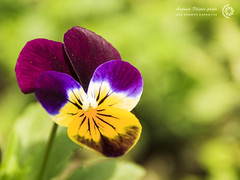 Violetta (filippi antonio) Tags: flowers macro primavera nature closeup spring natura fiori viola primopiano violetta