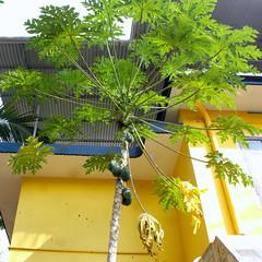 Amma's papaya plant (Nagarjun) Tags: beauty spring kerala amma aluva samrajyalakshmi