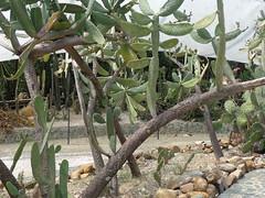 (sftrajan) Tags: cactus succulent colombia jardimbotnico botany botanicgarden botanicalgarden medellin jardnbotnico jardinbotanique  desertflora ortobotanico desertplants 2016 desertgarden  botanischetuin botanisktrdgrd jarinbotanico jardnbotnicodemedelln jardnbotnicojoaqunantoniouribe medellinbotanicgarden botanicalgardenofmedelln jardindeldesierto medellnbotanicgarden