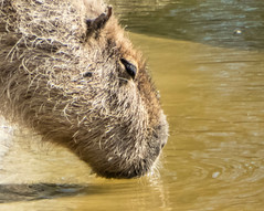 20150418-Marwell-P1000851.jpg (cybersmudger) Tags: england animal rodent unitedkingdom hampshire gb winchester capybara owslebury marwellwildlife