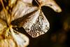 Hortensia in de wind (MJ Klaver) Tags: flower closeup 35mm movement wind bokeh m42 hortensia czj carlzeissjena primelens oldlens ausjena manualfocuslens carlzeissjenaflektogon35mmf28 ddrlens