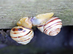 Loved Up Snails! (RiverCrouchWalker) Tags: shells spring snail seawall april essex mollusc stripy 2016 southwoodhamferrers cepaeanemoralis bandedsnail brownlippedsnail fenncreek lovedupsnails