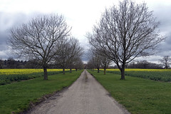 Another Vanishing Point (steven.kemp) Tags: road england sky tree green field grass yellow point landscape countryside track norfolk perspective mustard vanishing secnery hockering