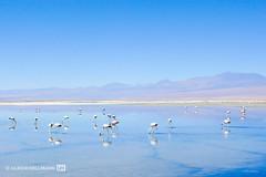 Andean flamingo at Salar de Atacama, Chile (Uli Hollmann) Tags: chile flamingo atacama andes salar saltpan