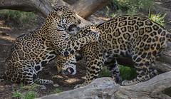 Mom Still Has the Upper Paw (Penny Hyde) Tags: bigcat jaguar sandiegozoo