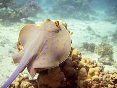 Ray-2 (shayhaas) Tags: ray underwater stingray wildlife redsea scuba diving sealife jeddah saudiarabia bluespottedstingray