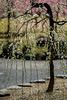 20160229-102558_5K_80 (pya) Tags: kyoto 京都 camellia plumblossoms jonangu 梅花 茶花 城南宮 椿花 weepingplumblossoms