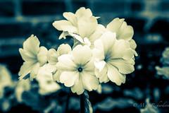 Split toned flowers (Sasquatchpics) Tags: flower nireland antrim splittone coantrim canon24105 canon6d
