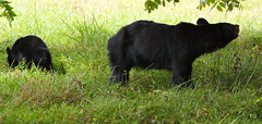 DSC09220 (God's World, USA) Tags: bear mountains tennessee wildlife great mother cubs smoky blackbear reservation cadescove smockymountains