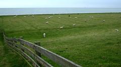 35 sheep (janneman2007) Tags: netherlands canon landscape horizon nederland canon350d landschaft friesland ijsselmeer hindeloopen landschap niederlande ijssellake janneman2007