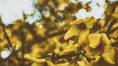 (Luigi.glpy) Tags: vintage giallo fiori industar