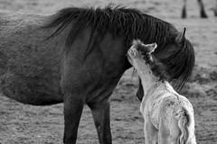 Wild Horses in black-and-white - Foal - 2016-023_Web (berni.radke) Tags: horse pony herd nordrheinwestfalen colt wildhorses foal fohlen croy herde dlmen feralhorses wildpferdebahn merfelderbruch merfeld przewalskipferd wildpferde dlmenerwildpferd equusferus dlmenerpferd dlmenpony herzogvoncroy wildhorsetrack