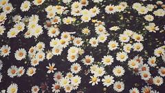 Hanami 2016: Flowers (Jon-F, themachine) Tags: flowers plants plant flower nature japan asian outdoors flora asia olympus  nippon japo oriental  orient  fareast  aichi nihon  omd oguchi   chubu japn  2016 m43  mft   mirrorless  chuubu   micro43 microfourthirds  ft xapn jonfu   mirrorlesscamera snapseed   em5ii em5markii  oguchicho