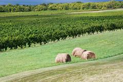 Rolling Vineyard (matthewkaz) Tags: lake newyork water field vineyard winery grapes hay fingerlakes 2010 haybales senecalake