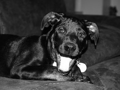 Excited Wimpy (JLBondia) Tags: bw rescue pets dogs smile smiling puppy pug blackdog excitement wimpy dogsmile smilingdog rescuedogs