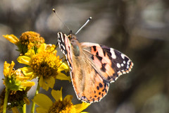 Painted Lady (Finatic 's iNaturalist Stream) Tags: paintedlady