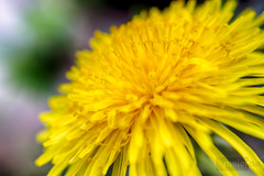 Macro Photography (meier2k8) Tags: flowers flower macro nature beautiful beauty yellow canon spring amazing dandelion missouri extremecloseup bloom smallworld springtime blooming flowerpetals macrophotography springseason macrophotos macroshots macropix canonphotography missouriphotos missouriphotography canont5i
