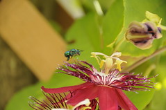 Augochlora Sweat Bee (aprille s) Tags: green florida bee passiflora passionflower pompanobeach butterflyworld 2016 aprilles augochlorasweatbee