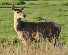 Red Deer (kev747) Tags: leicestershire deer reddeer bradgatepark bradgate