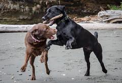 China Beach-3466 (mariskar) Tags: dog canada beach dogs nature beauty vancouverisland labs pacificnorthwest labradorretriever chinabeach westcoast pnw islandlife islandliving explorebcexplorecanada westcoastbeastcoast beastiebuddies