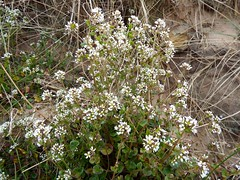 Common Scurvy Grass (nz_willowherb) Tags: beach scotland fife kingsbarns cochleariaofficinalis commonscurvygrass