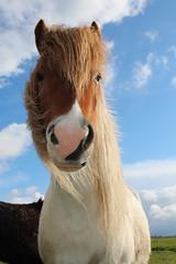 IMG_9959 (fraroan) Tags: paarden ponys tolt rijden paardrijden ijslander ijslandse ijslanders fraroan telgang westbemster
