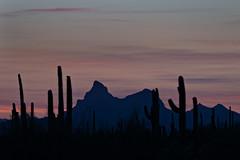 PIcacho Peak sunset (chase.bartholomew) Tags: cactus silhouette saguaro sonoran picachopeak sonorandesert