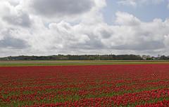 Tulpen in Lisse (Knoffelhuisie Photography.) Tags: red holland rose tulips nederland wolken tulip tuin rood bollen tulpe roze rode tulp lisse tulipfields rooi bloembollen