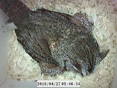 Nesting Box: Screech Owls