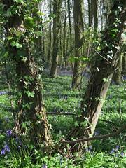 IMG_0185 (Joy Shakespeare) Tags: uk coventry woodlandtrust allesley elkinwood