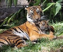 Cuddling (greekgal.esm) Tags: california baby animal cat mammal cub feline sony tiger mother bigcat sumatrantiger joanne carnivore escondido sal70300g sandiegozoosafaripark sandiegozooglobal endextinction a77m2 a77mii