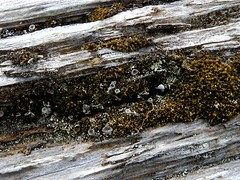 Upon a Drift Log (Ramona H) Tags: moss sand driftwood whidbeyisland pugetsound lichen whidbey alaspit