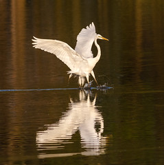 Early arrival (tresed47) Tags: birds us content places delaware egret folder greategret takenby 2016 bombayhook peterscamera petersphotos canon7d 201604apr 20160425bombayhookbirds
