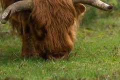 grazing Scottish highlander (m.limbeek) Tags: cow wildlife highland scotish