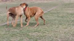 Ridgeback Wrestle (brettswift) Tags: dog calgary enzo