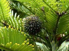 Wollemia nobilis female cone (dracophylla) Tags: wollemipine araucariaceae royaltasmanianbotanicalgardens wollemianobilis