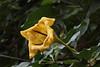 Golden Chalice Vine (Solandra maxima) (greggys stuff) Tags: solandramaxima plantasia goldenchalicevine