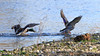 Canard colvert (Anas platyrhynchos) (yann.dimauro) Tags: france animal fr extérieur oiseau rhone rhônealpes givors ornithologie