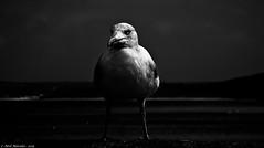 StormBird (Neil. Moralee) Tags: sea blackandwhite bw white storm black bird monochrome danger contrast dark mono nikon war close darkness sinister gull evil style neil stormy intent p7000 stormbird moralee