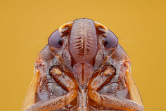 Cigarrinha (Cicadellidae) (Bruno Garcia Alvares) Tags: brazil macro brasil insect leafhopper insetos macrofotografia hemiptera cicadellidae mt24ex focusstacking cigarrinha macrofotography diydiffuser cicadelidae extrememacrophotography canon600d manfrotto454 amazoninsects 1855mminvertida cicadeldeo empilhamentodefoco insetosdobrasil insetosdaamaznia insetosbrasileiros brunogarciaalvares 1855mminvertedlens