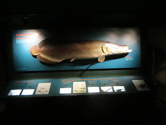 Arapaima (howicus) Tags: milwaukee arapaima milwaukeepublicmuseum