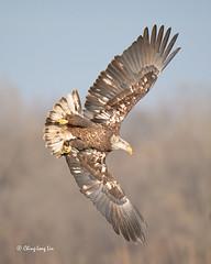 Juvenile Eagle Dive [3173] (cl.lin) Tags: nature nikon sigma iowa ia bif americanbaldeagle birdinflight themississippiriver leclaire lockdam14 ld14 lockanddamno14 sigma150600mm