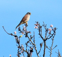 IMG_9735 (Terry Sims) Tags: bird portugal almond raptor hunter prey algarve kestrel blossum
