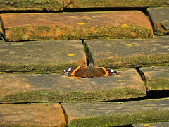 Whither Winter? (Deepgreen2009) Tags: winter butterfly insect wildlife flight warmth redadmiral rare surviving basking unseasonal
