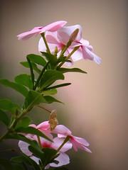 tenero rosa (fotomie2009) Tags: pink flower del flora periwinkle fiore madagascar rosy vinca rosea roseus pervinca catharanthus