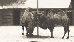 camels. brookfield zoo. january 2016 (timp37) Tags: winter white snow black zoo illinois january camel brookfield snowing camels 2016